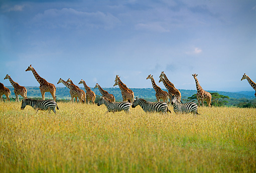 AFW 09 DB0001 01 © Kimball Stock Herd Of Giraffes In Pasture Zebra In Background Africa