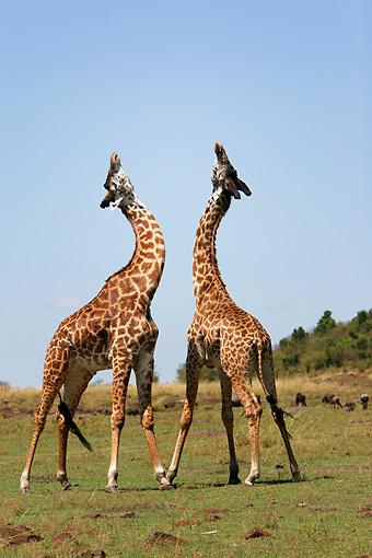 AFW 09 DB0002 01 © Kimball Stock African Masai Giraffes Fighting