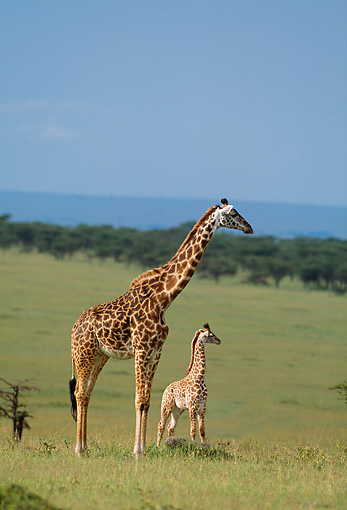 AFW 09 DB0004 01 © Kimball Stock Profile Of Giraffe Cow And Calf Standing In Savanna