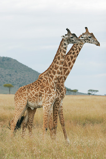 AFW 09 DB0006 01 © Kimball Stock Two Masai Giraffe Bulls Standing On Savanna