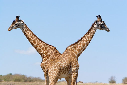 AFW 09 DB0008 01 © Kimball Stock Two Masai Giraffe Bulls Standing On Savanna