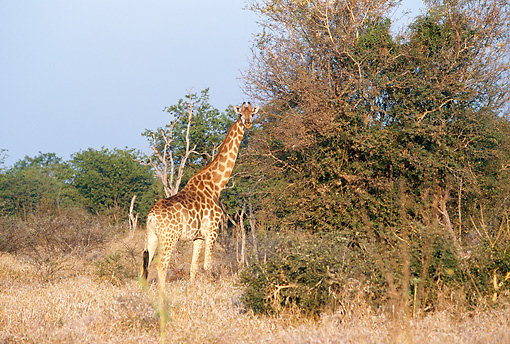 AFW 09 DS0001 01 © Kimball Stock Giraffe Standing By Tree On Savanna