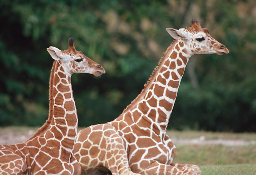 AFW 09 GR0001 01 © Kimball Stock Two Reticulated Giraffe Calves Laying On Grass Profile