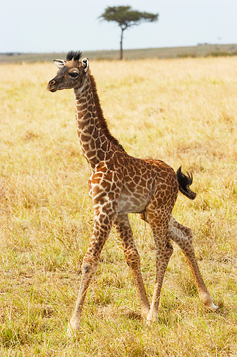 AFW 09 NE0003 01 © Kimball Stock Giraffe Calf Walking On Savanna Kenya