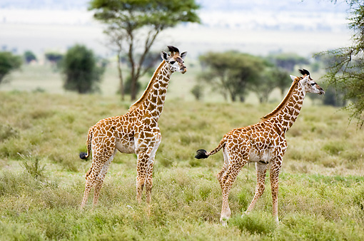 AFW 09 NE0004 01 © Kimball Stock Two Juvenile Masai Giraffes Standing On Savanna Tanzania