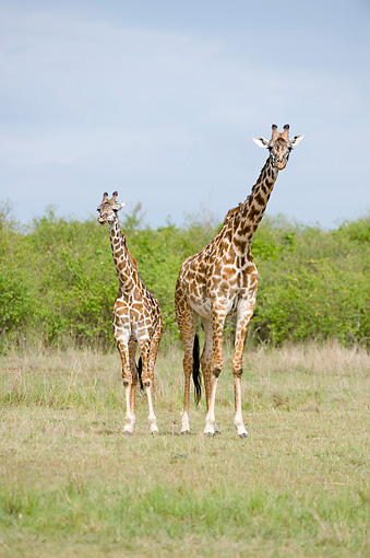 AFW 09 NE0005 01 © Kimball Stock Masai Giraffe Mother And Calf Standing On Savanna Kenya