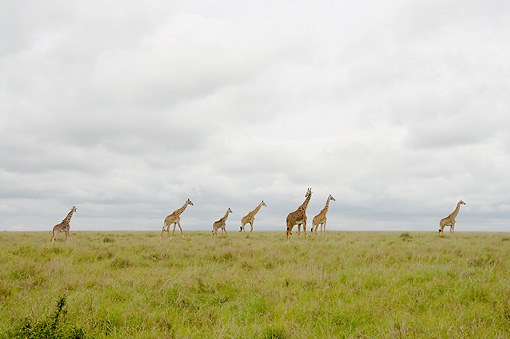 AFW 09 NE0009 01 © Kimball Stock Herd Of Masai Giraffes Walking On Savanna In Distance Kenya