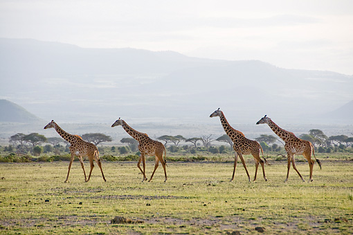 AFW 09 NE0011 01 © Kimball Stock Four Rothschild Giraffes Walking On Savanna Near Mountain Kenya