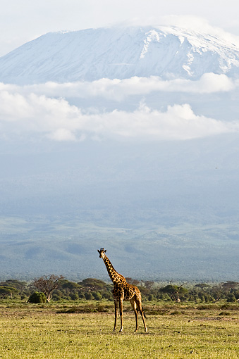 AFW 09 NE0012 01 © Kimball Stock Rothschild Giraffe Standing On Savanna Near Mount Kilimanjaro Kenya