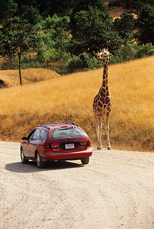 AFW 09 RK0004 03 © Kimball Stock Giraffe Walking Along Path By Car (Giraffa Camelopardalis)