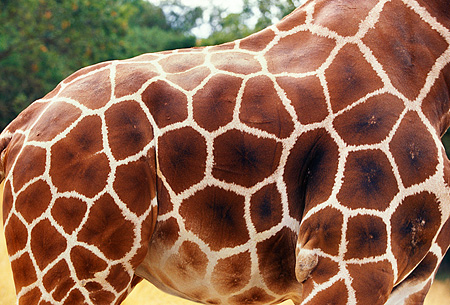 AFW 09 RK0005 01 © Kimball Stock Close Up Of Reticulated Giraffe's Fur (Giraffa Camelopardalis)