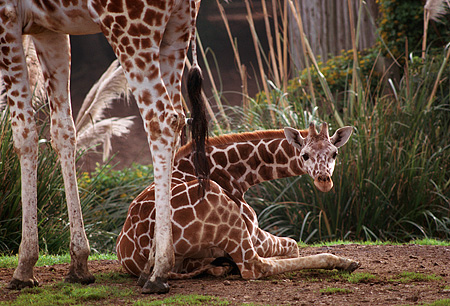 AFW 09 RK0014 01 © Kimball Stock Baby Reticulated Giraffe Laying Down Next To Mother