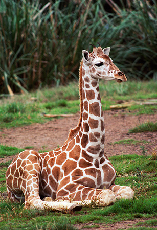 AFW 09 RK0038 03 © Kimball Stock Baby Reticulated Giraffe Sitting Down