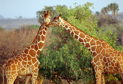 AFW 09 RW0005 01 © Kimball Stock Two Reticulated Giraffes Standing By Shrub Kenya