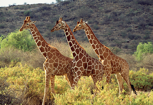 AFW 09 TL0001 01 © Kimball Stock Profile Of Three Reticulated Giraffes Walking Among Shrubs By Hill Kenya