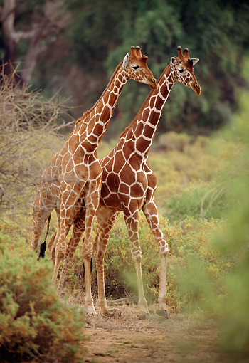 AFW 09 TL0002 01 © Kimball Stock Two Reticulated Giraffes Standing On Path Near Trees Africa