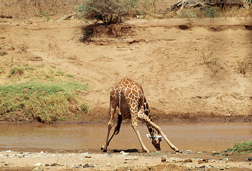 AFW 09 TL0003 01 © Kimball Stock Reticulated Giraffe Drinking At Watering Hole Africa