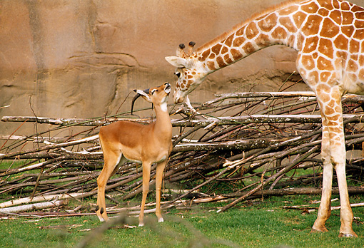 AFW 09 TL0004 01 © Kimball Stock Reticulated Giraffe Sniffing Impala By Pile Of Tree Branches