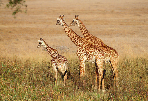 AFW 09 TL0005 01 © Kimball Stock Two Masai Giraffe Adults With Young Standing In Grass Africa
