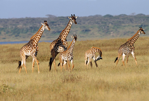 AFW 09 TL0006 01 © Kimball Stock Herd Of Masai Giraffes Walking On Grassland Africa