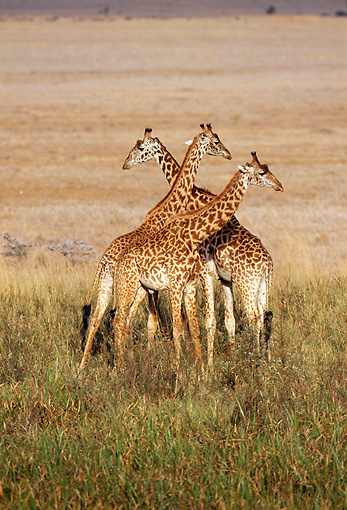 AFW 09 TL0007 01 © Kimball Stock Three Masai Giraffe Young Playing In Grass Africa
