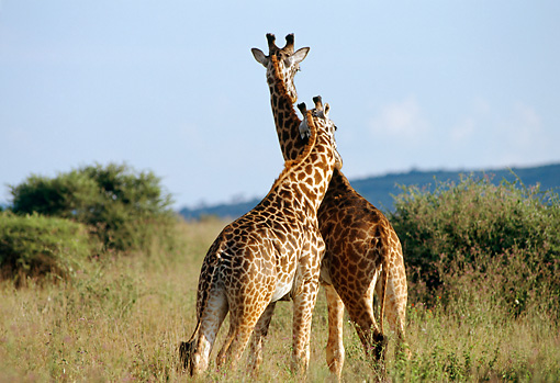 AFW 09 TL0008 01 © Kimball Stock Two Masai Giraffe Playing On Savanna Blue Sky Africa