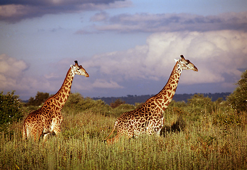 AFW 09 TL0009 01 © Kimball Stock Two Masai Giraffe Walking In Tall Grass Clouds Sky Africa