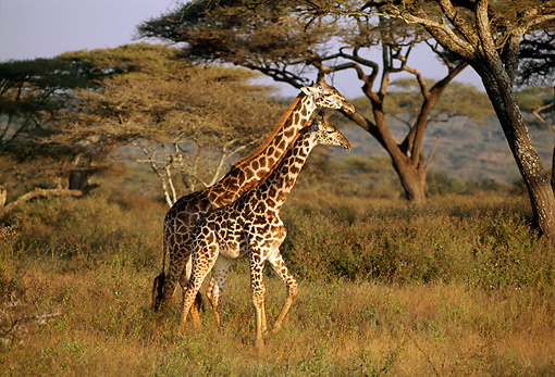 AFW 09 TL0010 01 © Kimball Stock Two Masai Giraffe Walking In Tall Grass Trees Sky Africa