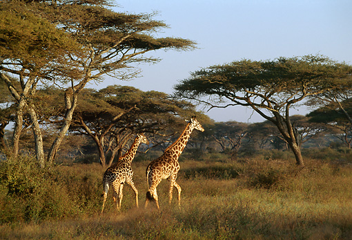 AFW 09 TL0011 01 © Kimball Stock Two Masai Giraffe Walking In Tall Grass Trees Sky Africa