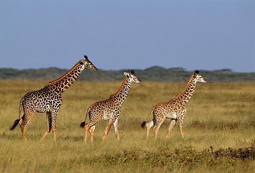 AFW 09 TL0013 01 © Kimball Stock Masai Giraffe Mother With Two Young Walking In Grass Africa