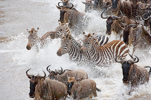AFW 10 AC0003 01 © Kimball Stock Plains Zebras And Wildebeests Crossing The Mara River In The Masai Mara Game Reserve, Kenya