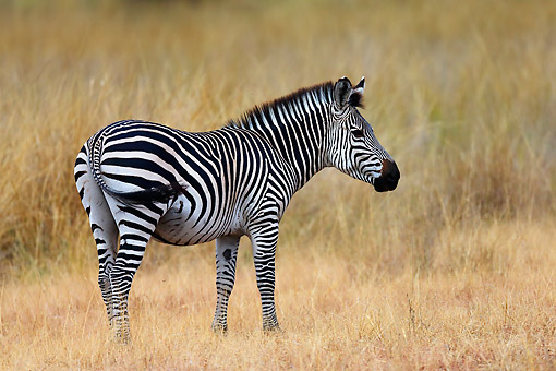 AFW 10 AC0004 01 © Kimball Stock Crawshay's Zebra (Subspecies Of The Plains Zebra) Standing In Zambia