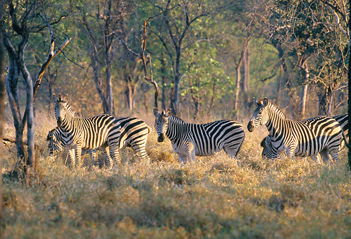 AFW 10 DS0002 01 © Kimball Stock Herd Of Burchell's Zebras Standing On Savanna