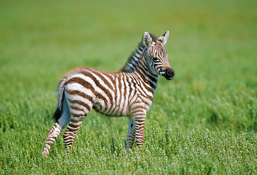 AFW 10 GL0003 01 © Kimball Stock Burchell's Zebra Foal Standing In Grassland