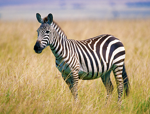 AFW 10 GL0004 01 © Kimball Stock Burchell's Zebra Standing In Grassland