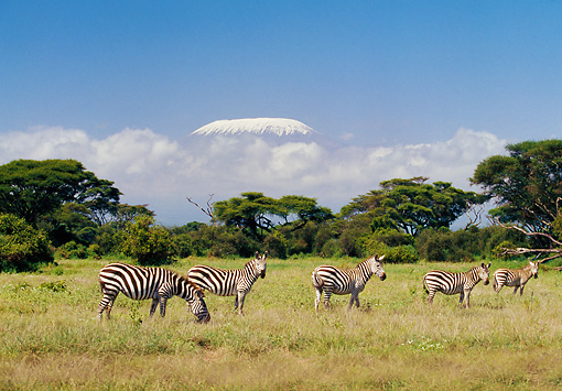 AFW 10 GL0005 01 © Kimball Stock Group Of Burchell's Zebras Grazing On Grass With Mount Kilimanjaro In Background