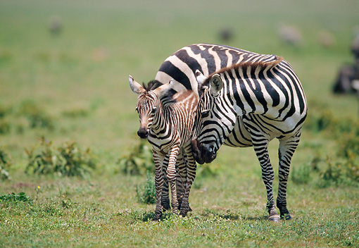 AFW 10 GL0008 01 © Kimball Stock Burchell's Zebra Nuzzling Foal On Plains In Tanzania
