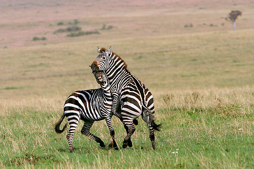 AFW 10 JE0001 01 © Kimball Stock Two Burchell's Zebras Fighting On Plains Kenya