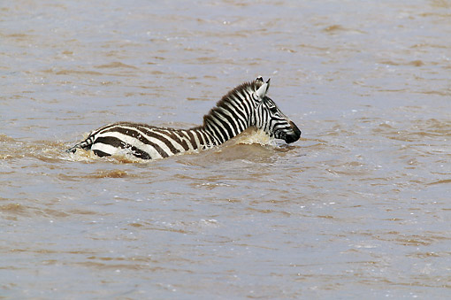 AFW 10 JE0002 01 © Kimball Stock Grant's Zebra Swimming In Water Kenya