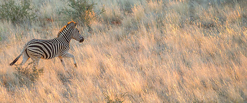 AFW 10 KH0003 01 © Kimball Stock Burchell's Zebra Running Through Savanna At Sunset In South Africa
