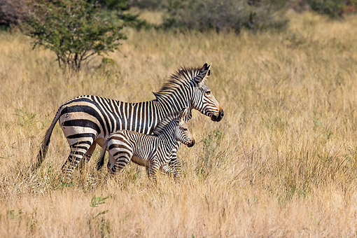 AFW 10 KH0004 01 © Kimball Stock Mountain Zebra Mother And Foal Walking Through Savanna In Namibia