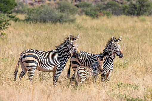 AFW 10 KH0005 01 © Kimball Stock Family Of Mountain Zebras Standing In Savanna In Namibia
