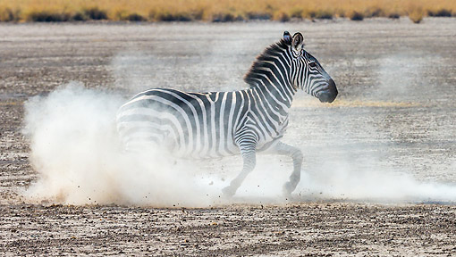 AFW 10 KH0012 01 © Kimball Stock Grant's Zebra Running On Plains In Kenya