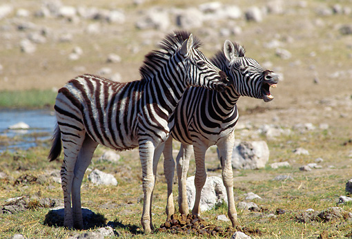 AFW 10 MC0004 01 © Kimball Stock Two Young Burchell's Zebras Standing In Savanna Kenya