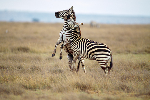 AFW 10 MC0005 01 © Kimball Stock Two Burchell's Zebra Stallions Fighting In Savanna Kenya