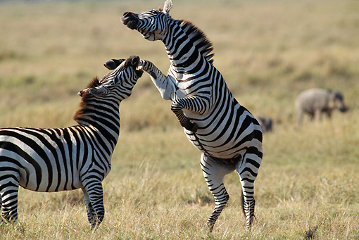 AFW 10 MC0006 01 © Kimball Stock Two Burchell's Zebra Stallions Fighting In Savanna Kenya