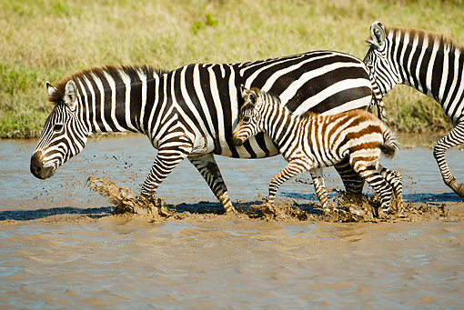AFW 10 MC0010 01 © Kimball Stock Group Of Burchell's Zebras Crossing River With Young