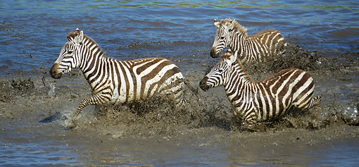 AFW 10 MC0016 01 © Kimball Stock Three Burchell's Zebras Splashing Through Water Tanzania