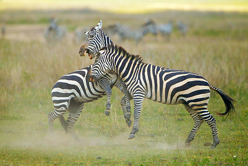 AFW 10 MC0017 01 © Kimball Stock Two Burchell's Zebras Fighting For Dominance Tanzania