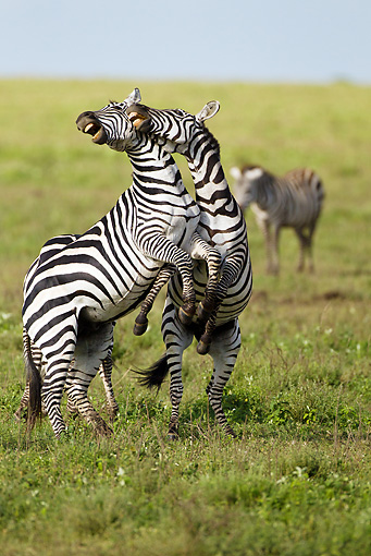 AFW 10 MC0018 01 © Kimball Stock Two Burchell's Zebra Stallions Fighting On Savanna Tanzania